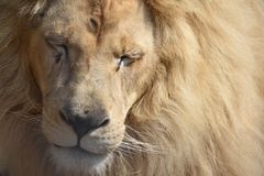 Een mannelijke leeuw met gesloten ogen Stock Foto