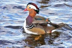Een Mannelijke Mandarin eend die op het meer zwemmen royalty-vrije stock foto's