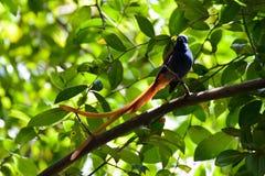 Een mannelijke paradijsvliegenvanger royalty-vrije stock afbeelding