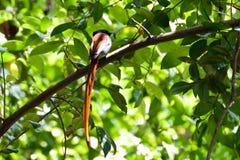 Een mannelijke paradijsvliegenvanger royalty-vrije stock foto's