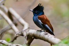 Een mannelijke paradijsvliegenvanger stock foto's