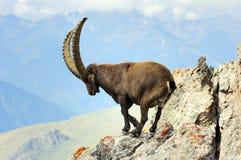 Een mannelijke steenbok in het Nationale Park Vanoise Stock Foto's
