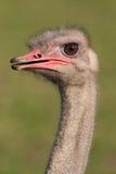 Een Mannelijke Struisvogel Stock Foto's