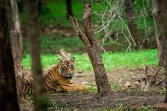 Een mannelijke tijger die in moessongreens bij het Nationale Park van Ranthambore rusten stock fotografie