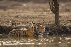 Een mannelijke tijgerwelp die haar dorst in de hete zomer doven bij het Nationale Park van Ranthambore stock foto