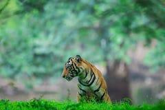 Een mannelijke tijgerwelp die safarivoertuigen waarnemen tijdens moessonseizoen bij het Nationale Park van Ranthambore stock foto's