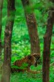 Een mannelijke tijgerwelp nam in moesson waar wanneer het bos als groen tapijt in Ranthambore Tiger Reserve is stock afbeelding