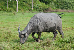 Een mannelijke waterbuffel Stock Fotografie