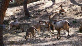 Een mannelijke wilde geit stock video