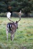Een mannetje dat bij Park Charlecote weggaat Royalty-vrije Stock Afbeeldingen