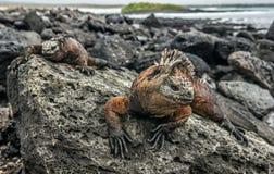 Een mannetje die van de Galapagos Marine Iguana op cristatus van Amblyrhynchus van lavarotsen rusten stock afbeelding