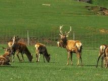 Een mannetje en doet op een hert bewerkt bij mossburn royalty-vrije stock afbeeldingen