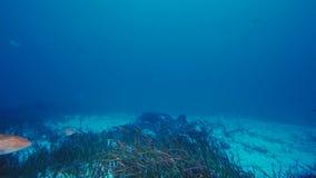 Een Manta-alfredi van straalmanta zwemt over een oceanic top in het Nationale Park van Komodo, Indonesië Mantas wordt gevonden we stock foto's