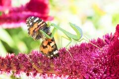 Een mantes aangevallen vlinder Stock Fotografie