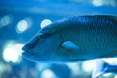 Een mariene vis in aquarium Stock Foto