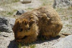 Een Marmot in Leh, Ladakh Stock Fotografie