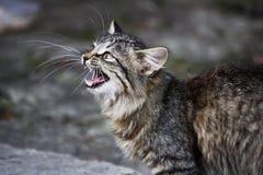 een mauwende kat Stock Foto's
