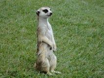 Een meerkat stock foto's