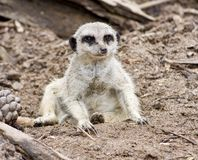 Een Meerkat Royalty-vrije Stock Fotografie