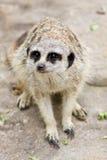 Een Meerkat Royalty-vrije Stock Foto