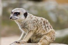 Een Meerkat Royalty-vrije Stock Foto's