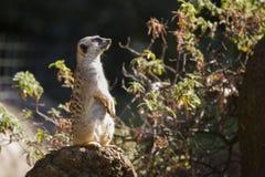 Een Meerkat die omhoog op een Rots zitten stock afbeelding