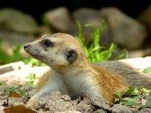 Een meerkat die op de grond liggen Stock Foto's