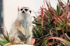 Een meerkat die rond eruit zien Stock Afbeelding