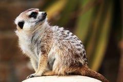 Een meerkat die rond eruit zien Stock Foto's