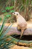 Een Meerkat die zich op een tak bevinden die zijn grondgebied bewaken royalty-vrije stock foto
