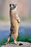 Een meerkat die zich rechtop bevindt Stock Afbeelding