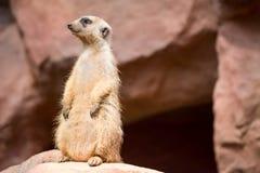 Een meerkat terwijl status en het zijn waakzaam van het milieu royalty-vrije stock foto