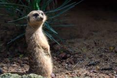 Een meerkat terwijl status en het zijn waakzaam van het milieu stock fotografie