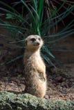 Een meerkat terwijl status en het zijn waakzaam van het milieu royalty-vrije stock foto's