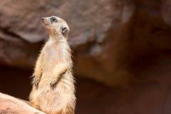 Een meerkat terwijl status en het zijn waakzaam van het milieu stock foto