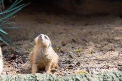 Een meerkat terwijl status en het zijn waakzaam van het milieu stock foto's