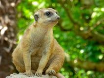 Een Meerkat-zitting op de hoop aan verkenning royalty-vrije stock afbeelding