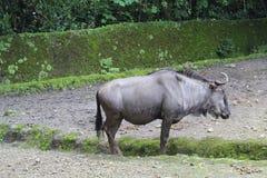 Een meest wildebeest status in een dierentuin Stock Afbeeldingen