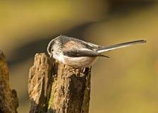 Een meesvogel met lange staart streek op een boomstomp neer royalty-vrije stock afbeelding