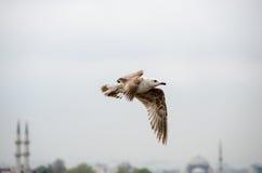 Een Meeuw die in Istanboel vliegen Stock Afbeeldingen