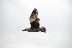 Een Meeuw die in Istanboel vliegen Stock Fotografie