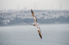 Een Meeuw die in Istanboel vliegen Royalty-vrije Stock Foto's