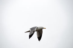 Een Meeuw die in Istanboel vliegen Royalty-vrije Stock Foto