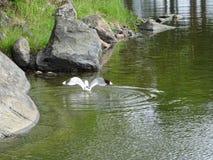 Een meeuw probeert om sommige vissen te vinden Stock Foto's