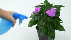 Een meisje bestrooit de bloem Impatiens stock video