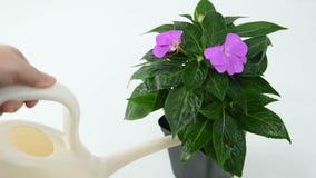 Een meisje die een bloem Impatiens water geven stock videobeelden