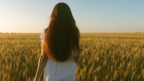 Een meisje loopt over een gebied van rijpe tarwe en raakt de oren van korrel met haar handen Langzame Motie Mooie vrouw stock footage
