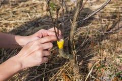 Een meisje maakt een wilde appelent in de vroege lente royalty-vrije stock afbeelding