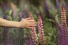 Een meisje met een mooie manicure raakt een bloem op een gebied van lupines stock afbeelding