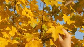 Een meisje is tearing gele bladeren in de herfst, close-up Van de herfstthema stock footage